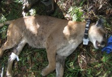Urban Sprawl Kills Endangered Florida Panthers: 2012 Could Be Deadliest Year Yet